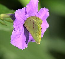 Orange-Barred Sulphur #2 by Jeff VanDyke