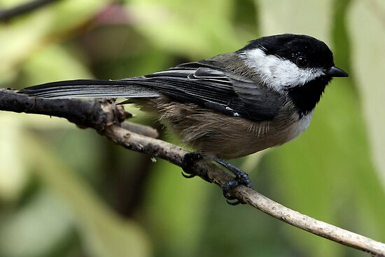 Black-Capped Chickadee Crisp Profile by Wolf Read