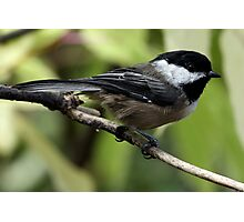 Black-Capped Chickadee Crisp Profile Photographic Print