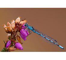Female Common Blue Damselfly Photographic Print