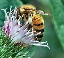 Honeybee on Burdock by Sheri Nye