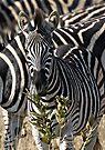 Zebra Stripe Confusion by Michael  Moss