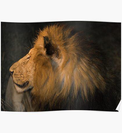 Male Lion Portrait - Night Poster