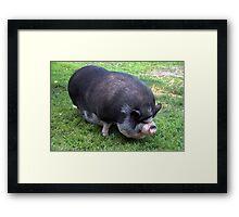Fat as a Pig Framed Print