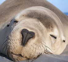 Snoozing Australian sea lion mother by Sealinator