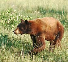 Waterton Lakes Bear by Ron Kube