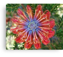 Red Banksia Detail Canvas Print