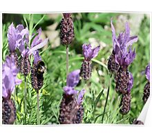 Butterfly Lavender Poster