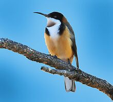 Eastern Spinebill Taken at the Goulburn River in NSW. by Alwyn Simple