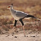Secretary Bird by Steve Bullock