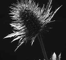 Sea Holly #1 by Haydn Trowell