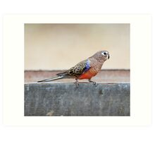 Bourke's Parrot sitting on a stock watering trough at Edward's Creek Bore on the Oodnadatta Track. Art Print