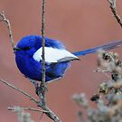 White Winged Wren (Male) Taken at the Living Desert Park outside Broken Hill. by Alwyn Simple