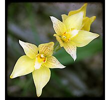 Yellow Orchids Photographic Print