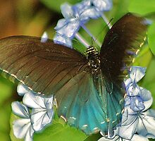 And this is me Blue Morpho by loiteke