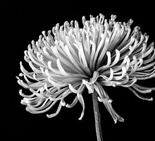 Chrysanthemum by jaks