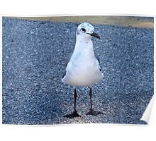 Gull with speckled head Poster