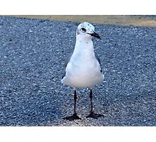 Gull with speckled head Photographic Print