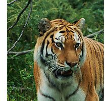 Greatest from Tigers Photographic Print