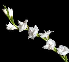 White Gladiola by Todd Morton