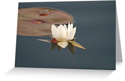 White Water Lily (Fragrant Water Lily) by Vickie Emms