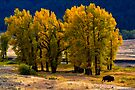 Cottonwoods and Lone Bison, Lamar Valley.Yellowstone National Park. Wyoming. USA. by PhotosEcosse