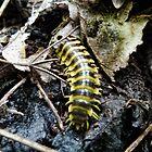 Centipede in hiding by vigor