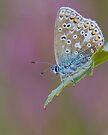 Female Common Blue Butterfly by Neil Bygrave (NATURELENS)