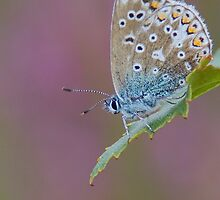 Female Common Blue Butterfly by Neil Bygrave (NATURELENS)