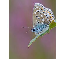 Female Common Blue Butterfly Photographic Print
