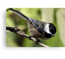 Black-Capped Chickadee Pointing Down Canvas Print