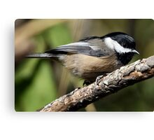 Black-Capped Chickadee Crouched Canvas Print