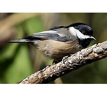 Black-Capped Chickadee Crouched Photographic Print
