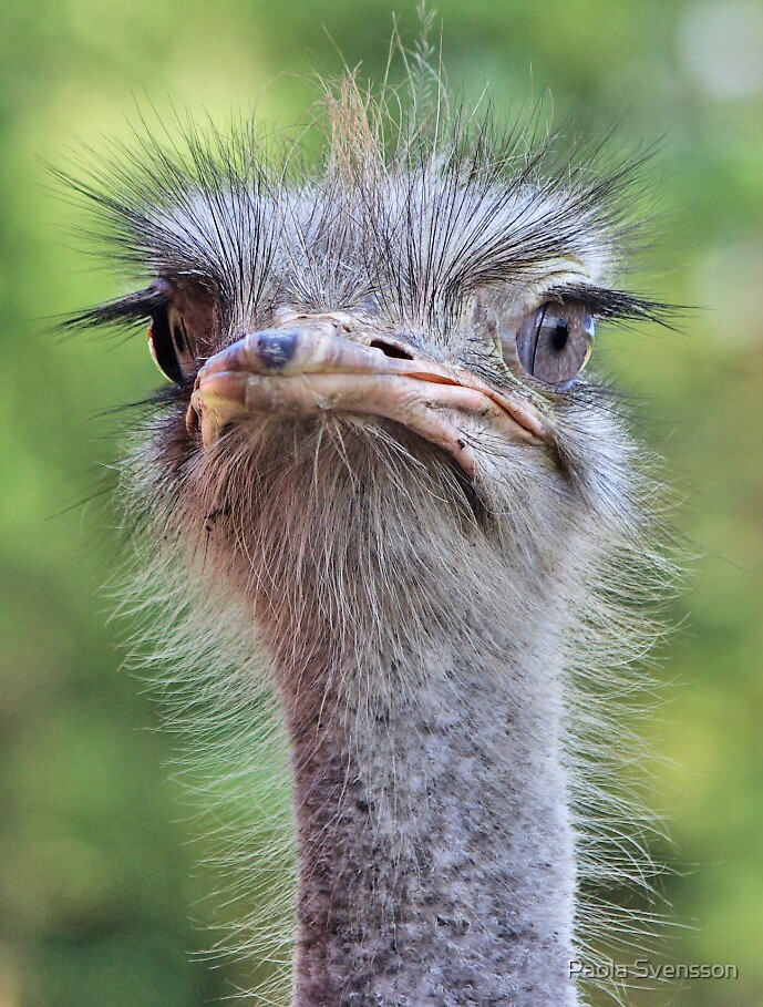 Cute ostrich by Paola Svensson