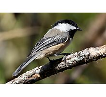 Black-Capped Chickadee a Curious Bird Photographic Print