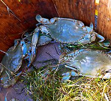 Blue Crabs by Hope Ledebur