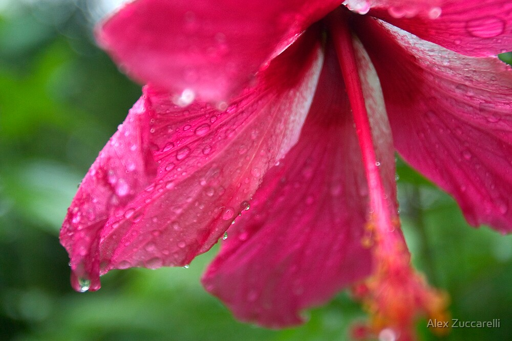 Hibiscus Rosa-sinensis - Pohnpei, Micronesia by Alex Zuccarelli