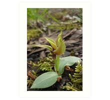 Large/Common Bird orchid (Chiloglottis valida) Art Print