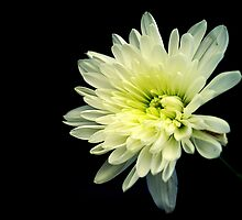 Daisy by Andrew Pounder
