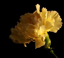 Yellow Carnation by Andrew Pounder