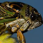 Silver-Bellied Cicada  by main1