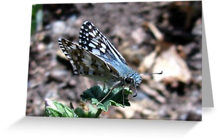 Butterfly ~ Common Checkered Skipper by Kimberly P-Chadwick