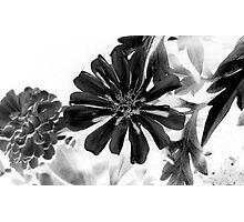 Zinnia Photographic Print