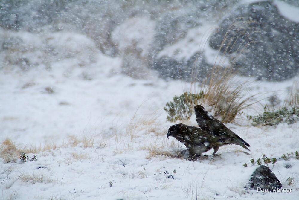 Keas in a winter storm by Paul Mercer