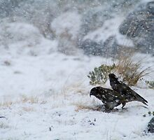 Keas in a winter storm by Paul Mercer