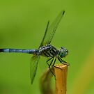 Dragonfly perched side view by kellimays