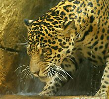 Jaguar underneath the waterfalls by kellimays