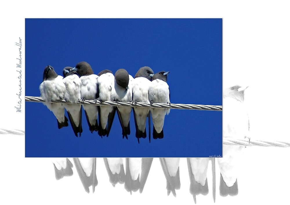 White Breasted Woodswallow by Holly Kempe