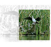 Little Pied Cormorant Photographic Print