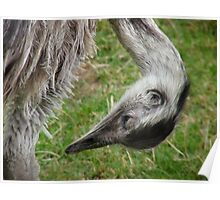 Ostrich (Struthio camelus) Poster